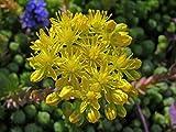 Tasteless Stone crop (1000 Seeds). Sedum Sexangulare, succulent, perennial
