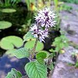 Water Mint Live Plant - Mentha Aquatica - NON-GMO Organic