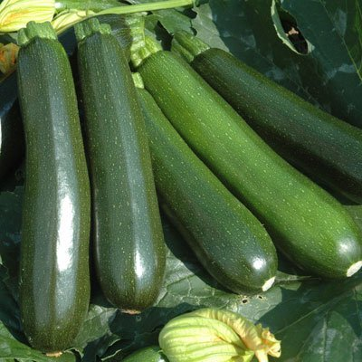 Summer Zucchini Summer Zucchini Squash Reward F1 Seeds - Vegetable Seeds Package - 1,000 Seed Package