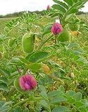 Organic Chickpea Garbanzo Bean Heirloom Non-GMO Garden Vegetable Legume Seeds