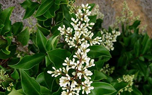 Ligustrum Japonicum 'Recurvifolium' - Curled Leaf Privet - Qty 40 Live Plants - Evergreen Privacy Hedge by Florida Foliage (Image #3)
