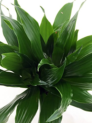 Janet Craig Dragon Tree - Dracaena fragrans - 6'' Pot - Easy to Grow House Plant by Hirt's Gardens