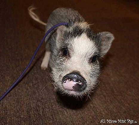 Amazon.com : Mini Pig Harness (Purple) : Pet Supplies