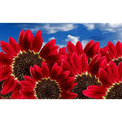 "Lumos80 Sunflower Seeds""Red Sun"" Heirloom Flower Seeds Multiple Blooms & Branches 50ct : Garden & Outdoor"