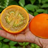Solution Seeds Farm Orange Naranjilla Solanum Quitoense Fruit Seeds, 100 Seeds