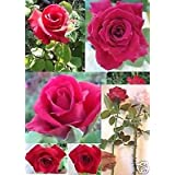 Rare - Long Stem Red Rose (Thornless Rose) Seeds