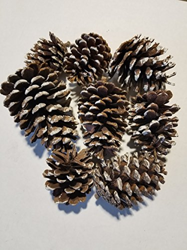 8 Large Snow Tip Frosted Pine Cones - Perfect For Decoration, Crafting, Bowl (Snow Pinecones)