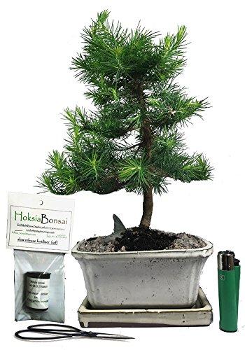 (A16bG) Aleppo Pine - Pinus halepensis Indoor/Outdoor Bonsai Tree Gift Set hoksia bonsai