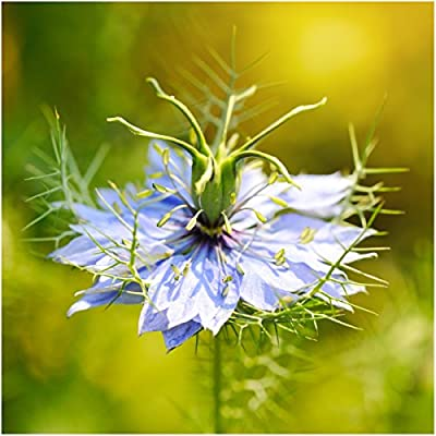 Package of 800 Seeds, Black Cumin (Nigella sativa) Non-GMO seeds by Seed Needs