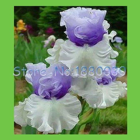 Japanese Iris (Seeds Shopp - 50PCS unique water white + blue flowers and purple Japanese iris seed & DIY home garden easy to survive Hot Sale!)