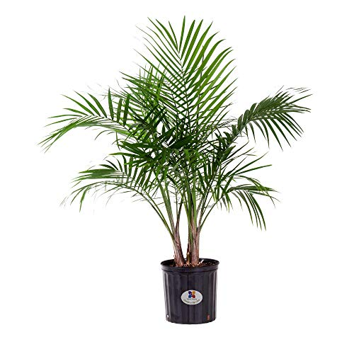 United Nursery Majesty Palm Tree, Live Indoor and Outdoor Plant. 36