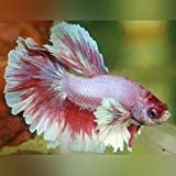 Dumbo Halfmoon Betta - Live Aquarium Tropical Fish