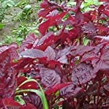 2015 New Top quality Rare Plants Purple Perilla Seeds ,Aromatic Plants Seeds,Red Shiso frutescens Details 50 Seeds