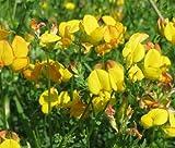 BIRD'S FOOT TREFOIL Lotus Corniculatus - 10,000 Bulk Seeds