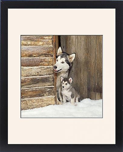 Framed Print of Alaskan Malamute Dog - adult with puppy at log cabin door by Prints Prints Prints