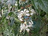 Gifts Delight Laminated 32x24 inches Poster: Flower Nature Wathu Sudda Flower Wathu Sudda Tabernaemontana Sri Lanka