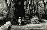 Hollow Redwood Tree 53 feet in circumference at base, Muir Woods Nat'l. Monument, Calif Original Vintage Postcard