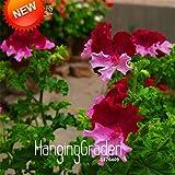 New Arrival!20 Seed/Lot Color Geranium Seeds, Perennial Flower Seeds Pelargonium Graveolens Flowers for Rooms,#2FVDOX