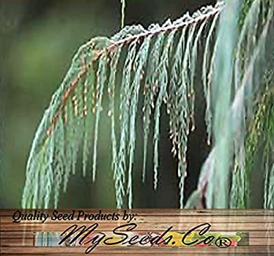4 Packs x 50 Kashmir Cypress, Cupressus cashmeriana, Tree Seeds - Weeping Fragrant Evergreen - By MySeeds.Co