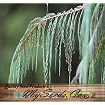 50 x Kashmir Cypress, Cupressus cashmeriana, Tree Seeds - Weeping Fragrant Evergreen - By MySeeds.Co (1 Pack)