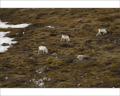 (Media Storehouse 10x8 Print of Svalbard Reindeer (Rangifer tarandus platyrhynchus) (19082821))