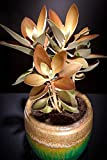 Kalanchoe Orgyalis copper spoons spoon rare succulent exotic plant seed 15 SEEDS