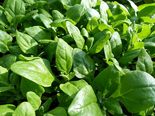 HOT - Vegetable - New Zealand Spinach - Tetragonia Tetragonioides - 60 Seeds