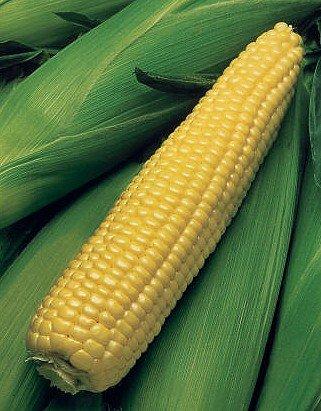 Kandy Korn Sweet Corn - 300 Seeds - VALUE PACK! -