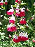 Salvia Hot Lips Live Plant Fit 1 Gallon Pot