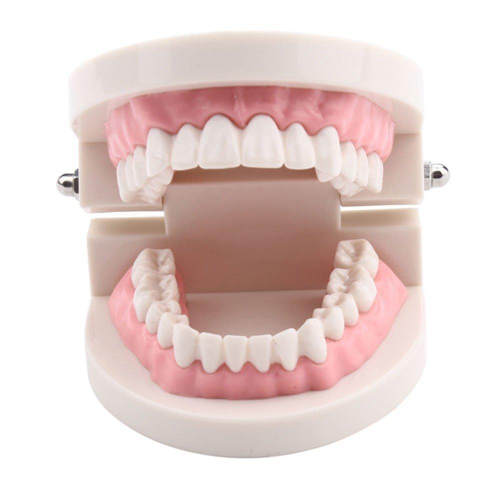 YueYueZou® Child Kid Teeth Model Dental Dentist Typodont Demonstration Model