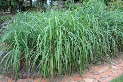 Citronella Grass by Brighter Blooms