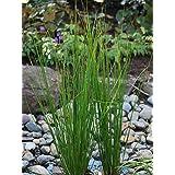 Perennial Farm Marketplace Juncus effusus (Common Soft Rush) Ornamental Grass, 1 Quart, Rich Green Foliage