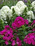 "PHLOX Paniculata ~White, Light Pink, Dark Pink and Purple Mix~ ""Garden Phlox"" 10+ Perennial Seeds"