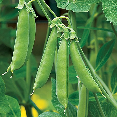 Burpee Sugar Snap Pea Seeds  300 seeds