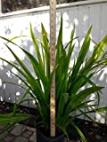PlantVine Trimezia martinicensis, Iris - Yellow Walking - 10 Inch Pot (3 Gallon), Live Plant - 4 Pack