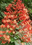 Christmas Orange Pagoda Flower Clerodendrum paniculatum Tropical Plant Size 5""