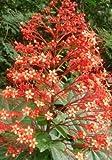 "Christmas Orange Pagoda Flower Clerodendrum paniculatum Tropical Plant Size 5"""