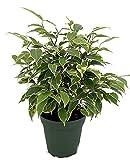 "Starlite Express Weeping Fig Tree - Ficus benjamina - Easy to Grow - 4"" Pot"