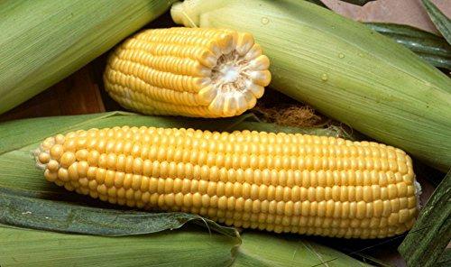 Vegetable Seeds - 60 Seeds ( 0.5 Ounce ) of Golden Cross Bantam Hybrid Sweet (su) Corn Maize Garden NonGMO Treated Seeds
