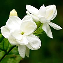 LADEY White Jasmine Flower Seeds Fragrant Plant Bonsai Potted Plants for Home 20pcs/pack
