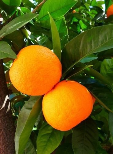 Dwarf Orange Tree Citrus 1 tree Grow Your Own Oranges Small Tree Nice 8-15''