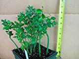Ruscus aculeatus Wheeler's Self Fruiting - beautiful - Very rare strange plant!