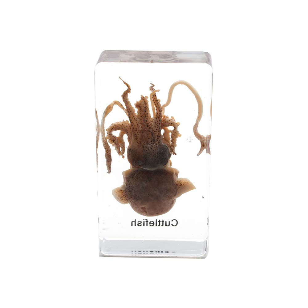 Squid Cuttlefish Animal Specimen in Acrylic Block Paperweights Science Classroom Specimens for Science Education