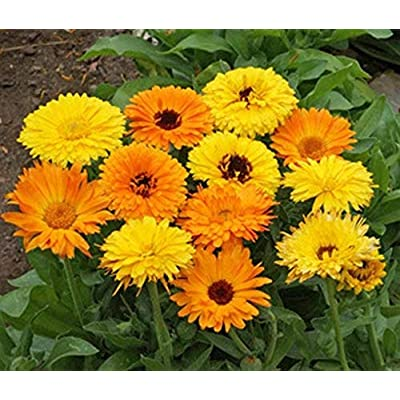 Calendula Pacific Beauty Mix Seeds (100 Seeds) : Garden & Outdoor