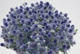 Blue Hobbit Sea Holly Perennial - Eryngium - Quart Pot