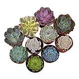 Shop Succulents Rosette Succulent (Collection of 4), 4