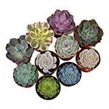 Shop Succulents Rosette Succulent (Collection of 40), 4''