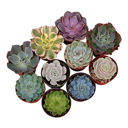 Shop Succulents Rosette Succulent (Collection of 40), 4'' by Shop Succulents