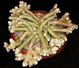 AVONIA PAPYRACEA, exotic succulent rare cactus anacampseros plant seed 50 SEEDS