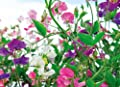 Sweet Pea Knee High Mix seeds Colorful Easy Grow - Flower Seeds ( 50 )